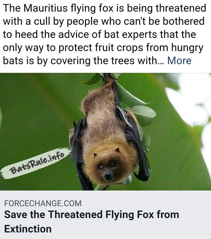 PLEASE READ N SHARE. thanks. James BatsRule.info #savethebats #megabat #flyingfox #fruitbat#bat #bats #wildlife . https://forcechange.com/234839/save-the-threatened-flying-fox-from-extinction/ .