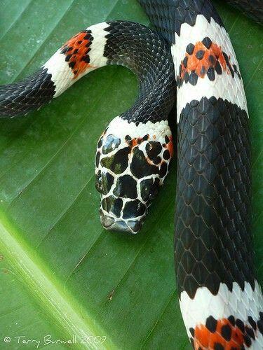 Amazon banded snake