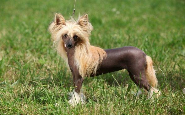 """""""Oryginalne"""" rasy psów - uroda dla koneserów? - GeekWeek.pl - Wszystko o nowych technologiach"""