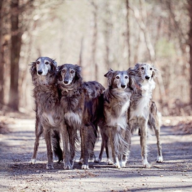 Silken Windhound mothers and daughters.
