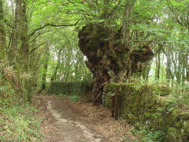 O castiñeiro da Corredoira Soutomerille, Castroverde, Lugo