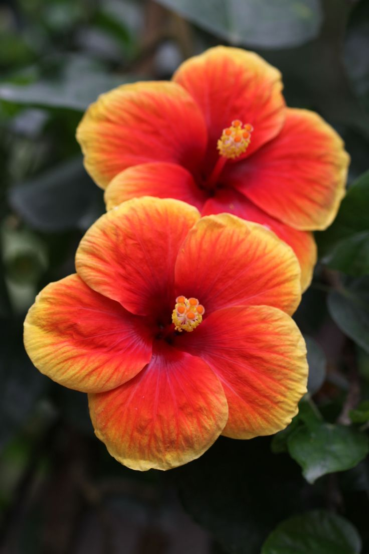 6318 best school community gardens images on pinterest edible the spin and flair of hibiscus petals and the way they fit together makes for one izmirmasajfo