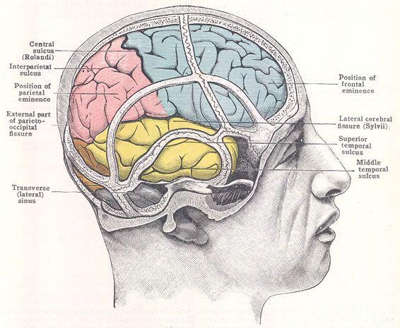 brain relative to the cranium 3d ref pinterest the o. Black Bedroom Furniture Sets. Home Design Ideas