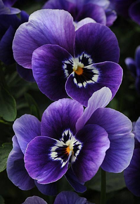 PANSIES  ~Looking Forward to seeing them again.   ~sandra de~  My Romantic Heart ~