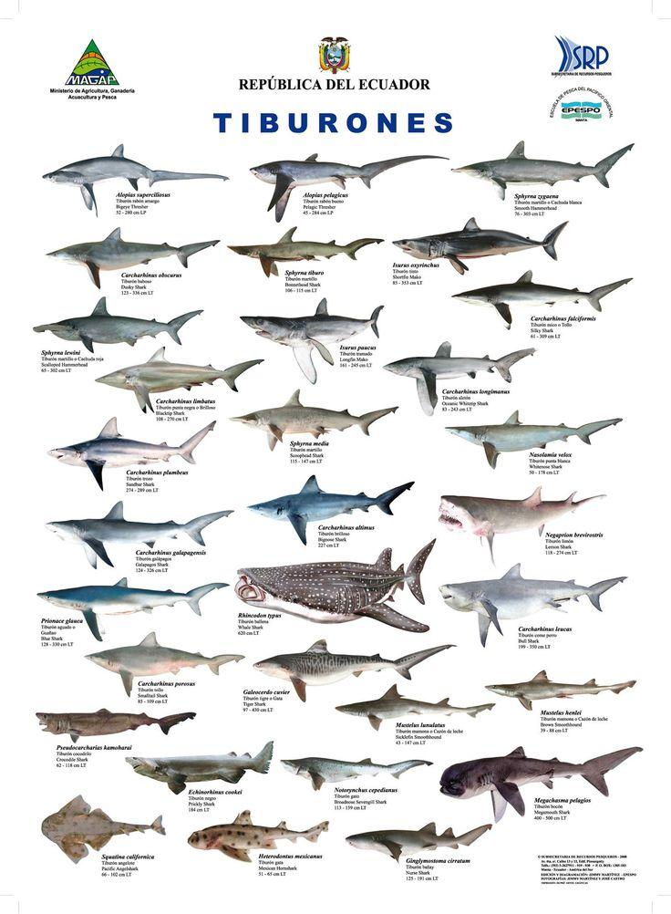 La pesca excesiva está reduciendo drásticamente la población de tiburones del mundo. Al igual que cientos de especies de peces, los tiburones están bajo la creciente presión resultante de la industria de la pesca global.