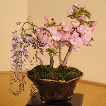 盆栽:桜・藤寄せ植え* :y2783:遊恵盆栽 Yahoo!店 - 通販 - Yahoo!ショッピング
