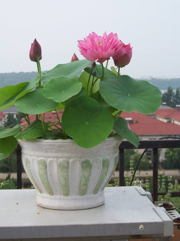 Airex Lotus Flower Seeds (15 Per Packet) Seed
