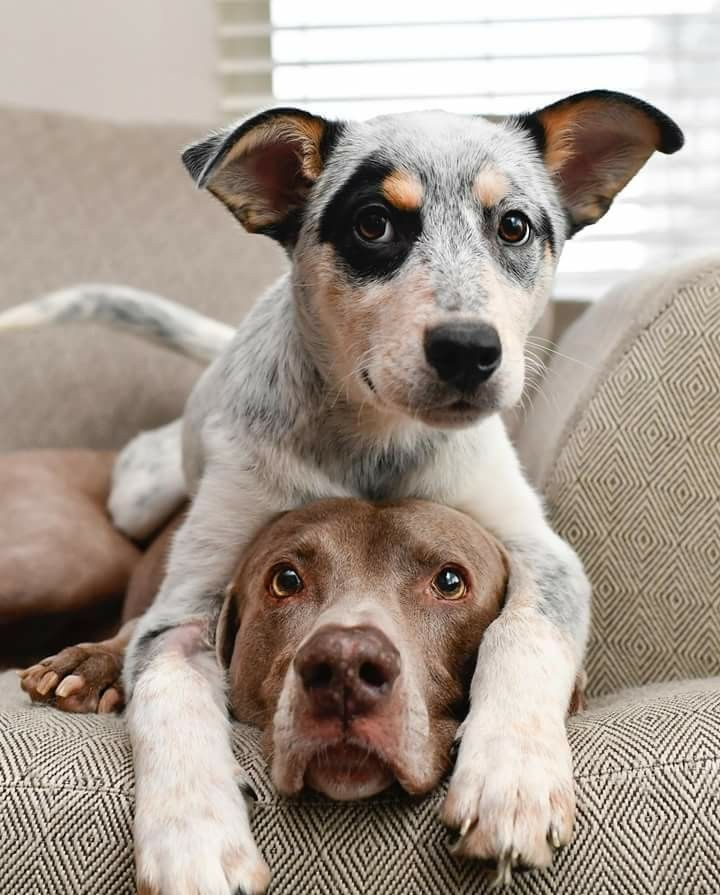 Harlowandfosters Aussie Cattle Dog Dog Lovers My Animal