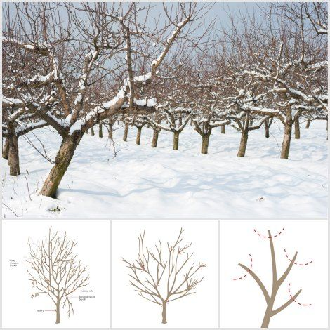 Great How To Prune Fruit Trees Pruning is one of the most important parts of caring