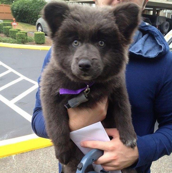 23 cães que podem ser confundidos com pequenos ursos!
