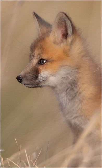 Red-Fox-Cub-by-gainesp2003.jpg (391×640)