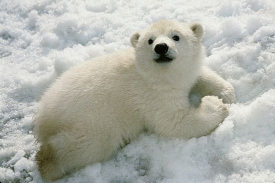 A polar bear just trying to cool down.