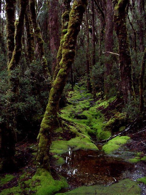 Wild forest - Cradle Mountain National Park, Tasmania