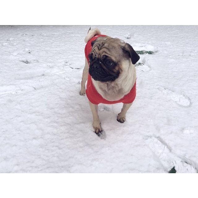 눈구경☃️❄️ #눈구경 #함박눈 #펑펑 #레옹 #퍼그 #찡코 #강아지 #애견 #멍스타그램 #개스타그램 #멍멍 #일상 #소통 #팔로우 #좋아요 #leon #pug #puppy #pet #dog #dogstagram #petstagram #daily #レオン #パグ #犬 #犬部 #愛犬 #ペット