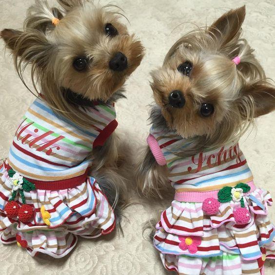 ボーダーニットのワンピです。名前プリントしました😃いちご首傾けすぎだよ〜💦 #いちごみるく#ヨーキー#ヨークシャテリア#YorkshireTerrier#yorkie#today#handmade #手作り#犬服#洋服#犬の洋服#愛犬#dog