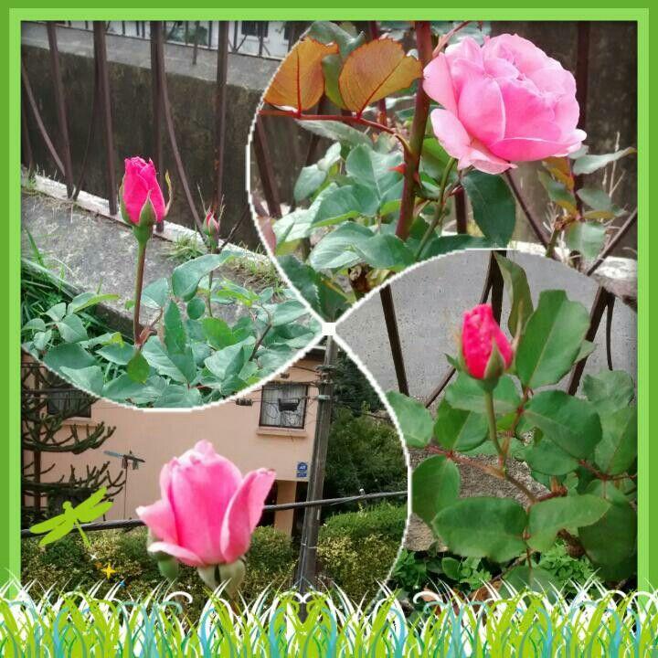 Las rosas de mi jardin