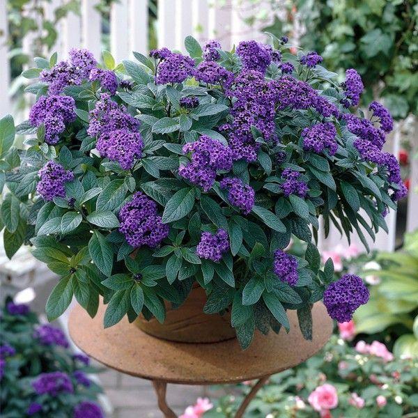 Znalezione Obrazy Dla Zapytania Heliotrop Plants Flowering Shrubs Container Gardening