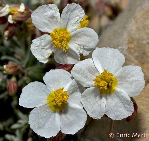 Flores Silvestres del Mediterráneo: Cistaceae: Helianthemum violaceum