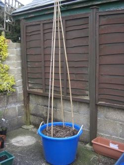 Growing peas in a container-- will thrive if given support for the vines to climb.