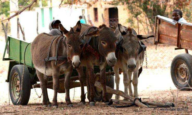 Donkeys a familair sight in Zimbabwe
