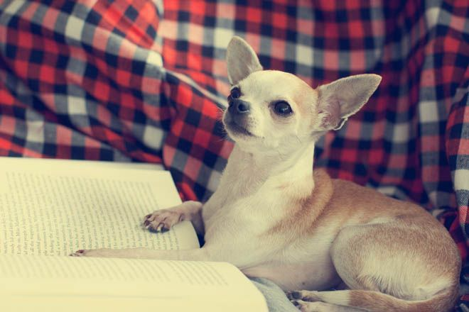 this is my kind of dog...and its a chihuahua which makes it soooo much better