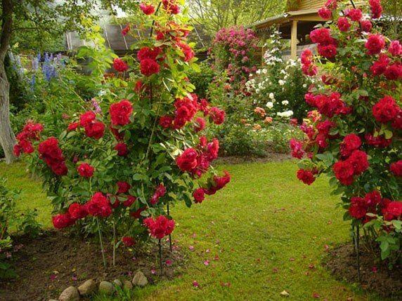 МОЯ ДАЧА  6 ОШИБОК В ВЫРАЩИВАНИИ РОЗ НА ДАЧЕ:1. Сажая розу в грунт, не следует оставлять прививку на поверхности почвы. Лучше углубить корневую шейку растения на 2-3 сантиметра в грунт.2. Нельзя обрез…
