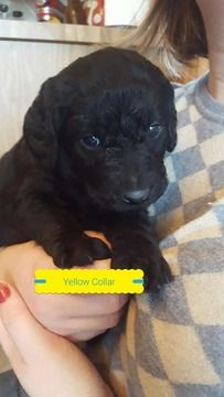 Litter of 8 Labradoodle puppies for sale in WABASH, IN. ADN-58447 on PuppyFinder.com Gender: Male. Age: 5 Weeks Old