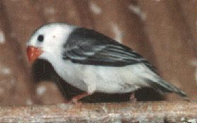Rare Zebra Finches | For information on the Zebra Finches I have for sale write to me ...