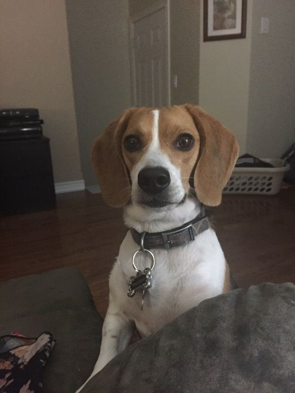 Human give me the almond now. : beagle