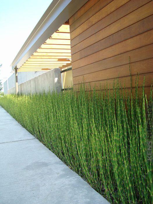 Temperate Equisetum Water Bamboo – Kens Nursery