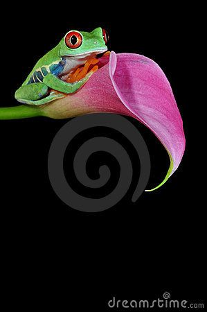red eyed tree frog pictures | of the most beautiful creatures on planet earth:the red eyed tree frog ...