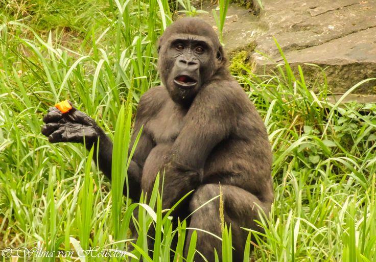 gorilla etenstijd