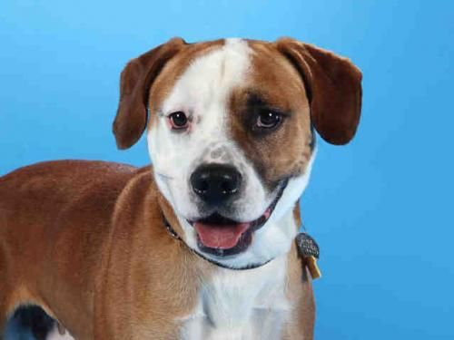 Name: brutus. Breed: boxer/beagle mix. Place: Saint Louis, MO. Sex: male. He is a medium dog waiting for the right family to adopt him!!!!!  Phone Number: (314) 951-1562