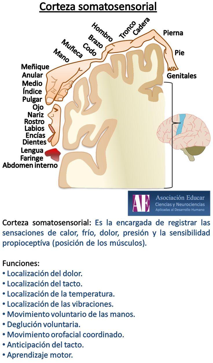 Corteza somatosensorial - Asociación Educar - Ciencias y Neurociencias aplicadas al Desarrollo Humano - www.asociacioneducar.com