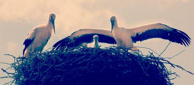 stork,bird,summer