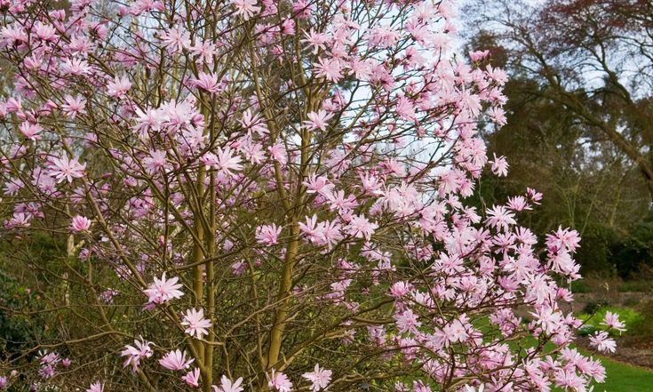 The Three Best Trees For Tiny Spaces In 2020 Small Trees For Garden Small Gardens Magnolia Trees