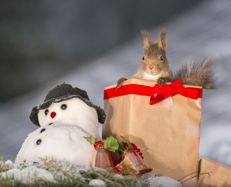 christmas squirrel present - red squirrel standing in a christmas present with a snowman