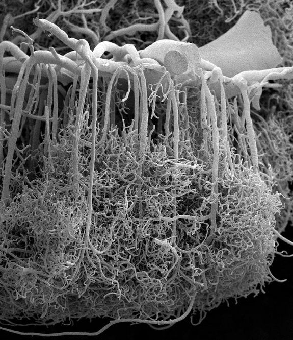 A scanning electron microscope image zooms in on the baroque branching structures that send blood to the human brain's cortex.