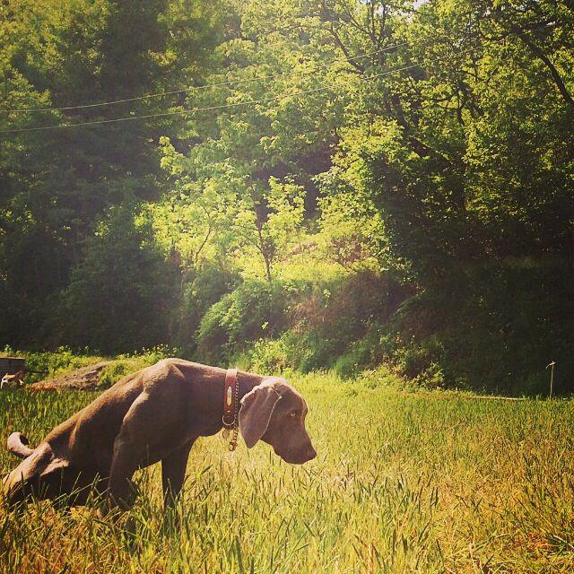 2014/05/10 #puppy #instacorgi #corgi #corgidog #corgigrrr #corgilove #corgicrazy #corgifamily #corgination #corgistagram #corgioftheday #corgicommunity #corgisofinstagram #dailydog #dogstagram #dogsofinstagram #petstagram #petsofinstagram #pembrokewelshcorgi #welshcorgi #statigram #buzzfeed #tastyshoutouts #puppyoftheday #dogoftheday #instagramcorgis#naver #weimaraner #google #nate #petphotography #peto #dog #pet #weim #pinterest #애완동물 #반려동물 #반려견 #애견 #와이마라너 #바이마라너 #독일사냥개 #웰시코기 #코기