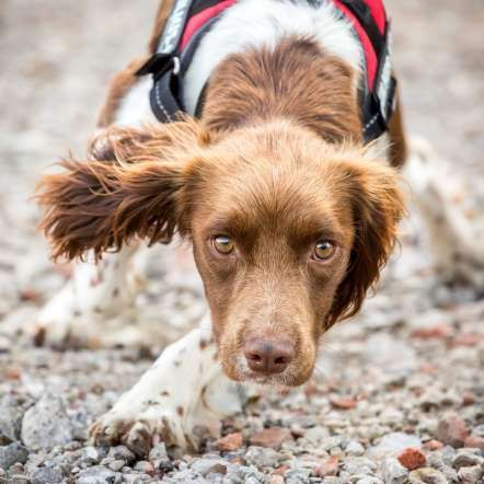 Category: Assistance Dogs And Dog Charities, 2nd Place — English Springer Spaniel by Caroline Bridges UK