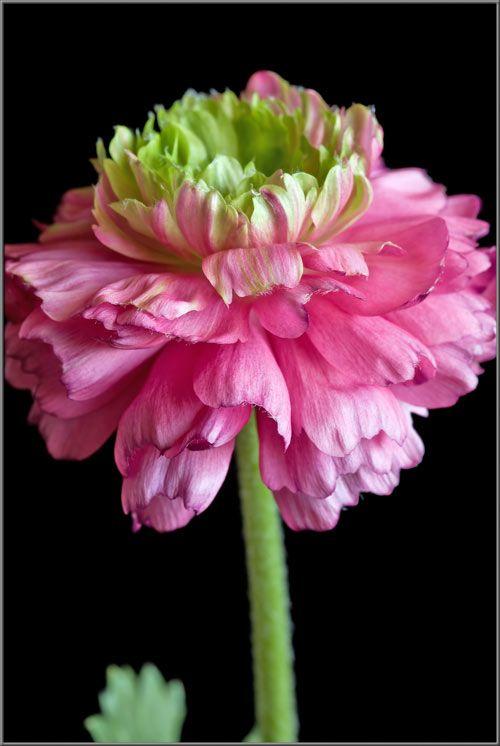Persian Buttercup Hybrid (Ranunculus asiaticus)