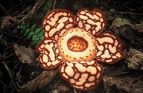 Rafflesia hasselti  Seen in Sumatra's Kerinci Seblat National Park