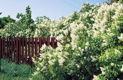 Vita bondsyren-blommor som väller över falurött staket — då har sommaren kommit till Sverige!