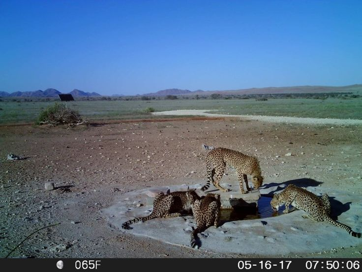 This image was captured by our trail cam in the Gondwana Namib Park! #namibia #cheetah #namib #gondwana #park