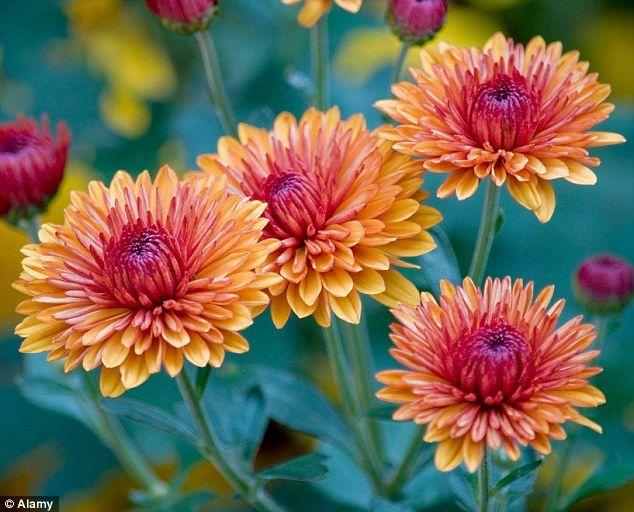 1411323150426_wps_6_Orange_Chryanthemums.jpg (634×512)