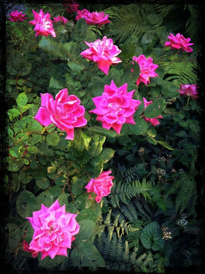 June roses in bloom along the garden path.