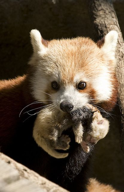Red Panda by Smithsonians National Zoo on Flickr.