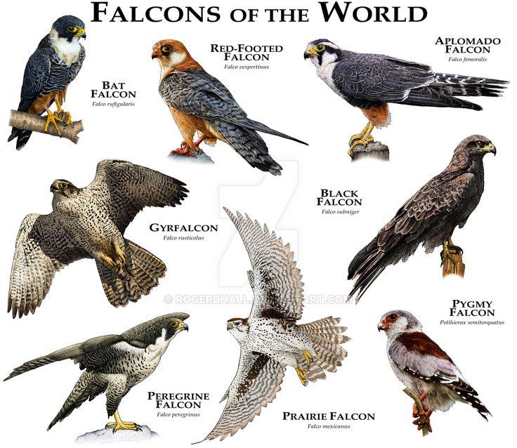 Falcons of the World by rogerdhall.deviantart.com on @DeviantArt