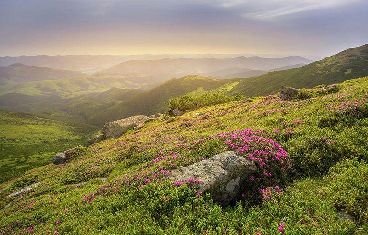 Serhii Kucher Fine Art Photography Photograph - Dawn Above Rhododendrons In The Carpathians by Serhii Kucher