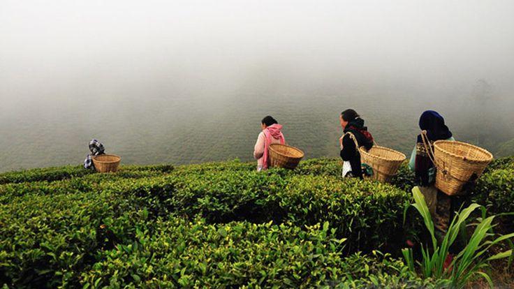 Darjeeling Tea Plantation India